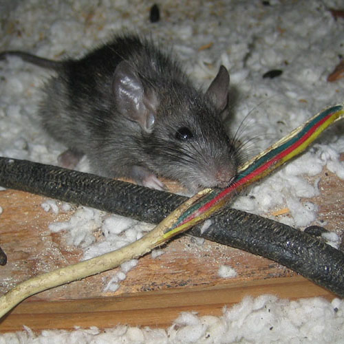 Get Rid of Rats in Attic