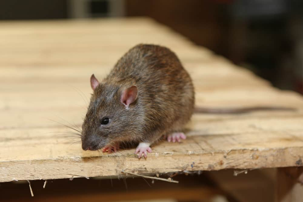 Rodent Control San Diego