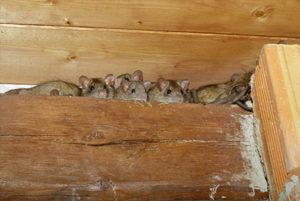 Rat cleanup