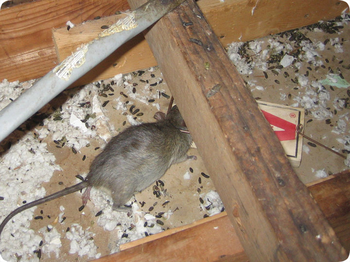 rodents-in-attic