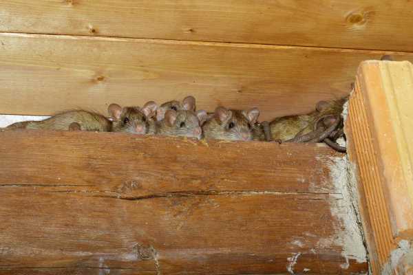 Why Having Rats in Your Home is Dangerous | Attic